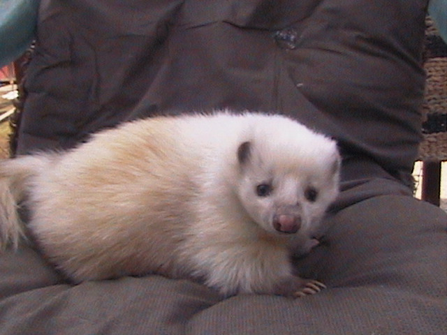 Wess Exotic Animals - Skunks Foxes Raccoons - Skunks