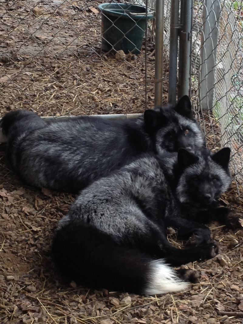 Wess Exotic Animals - Skunks Foxes Raccoons - Foxes